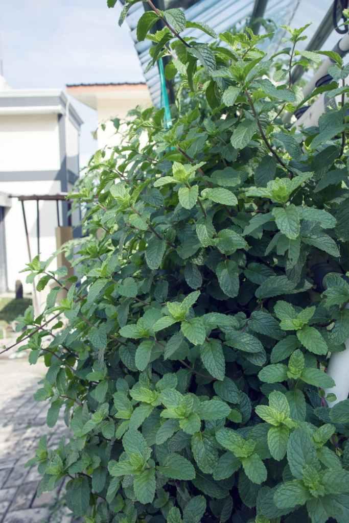 plant de menthe dans le jardin