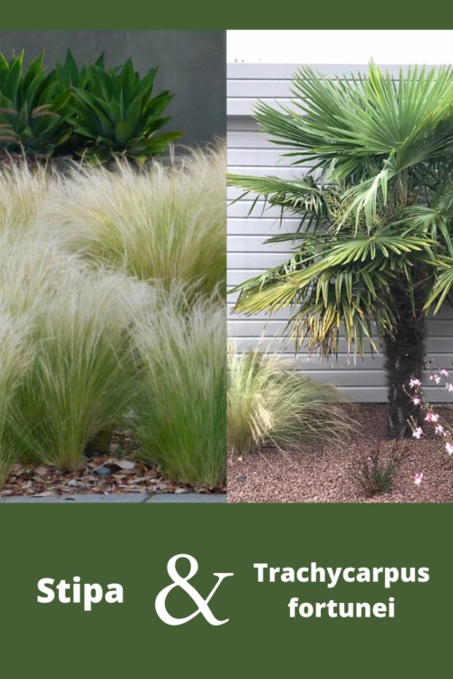 association de feuillage entre un palmier résistant au gel et des graminées