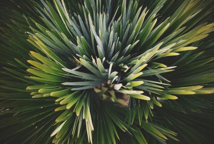palmes d'un palmier nain résistant au gel