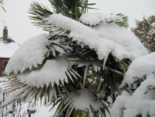 palmier résistant au gel recouvert de neige