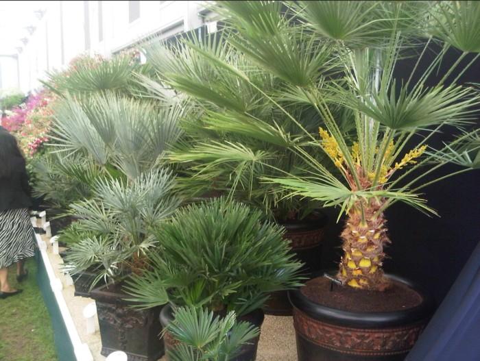 palmiers résistants au gel dans une jardinerie