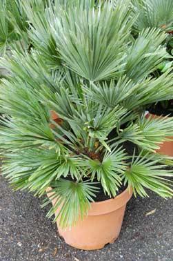 palmier nain résistant au gel en pot