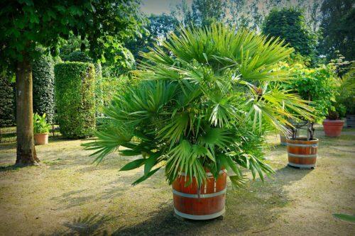 Chamaerops humilis en pot, un palmier résistant au gel