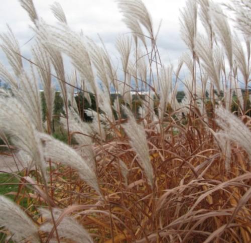 graminée miscanthus à l'automne