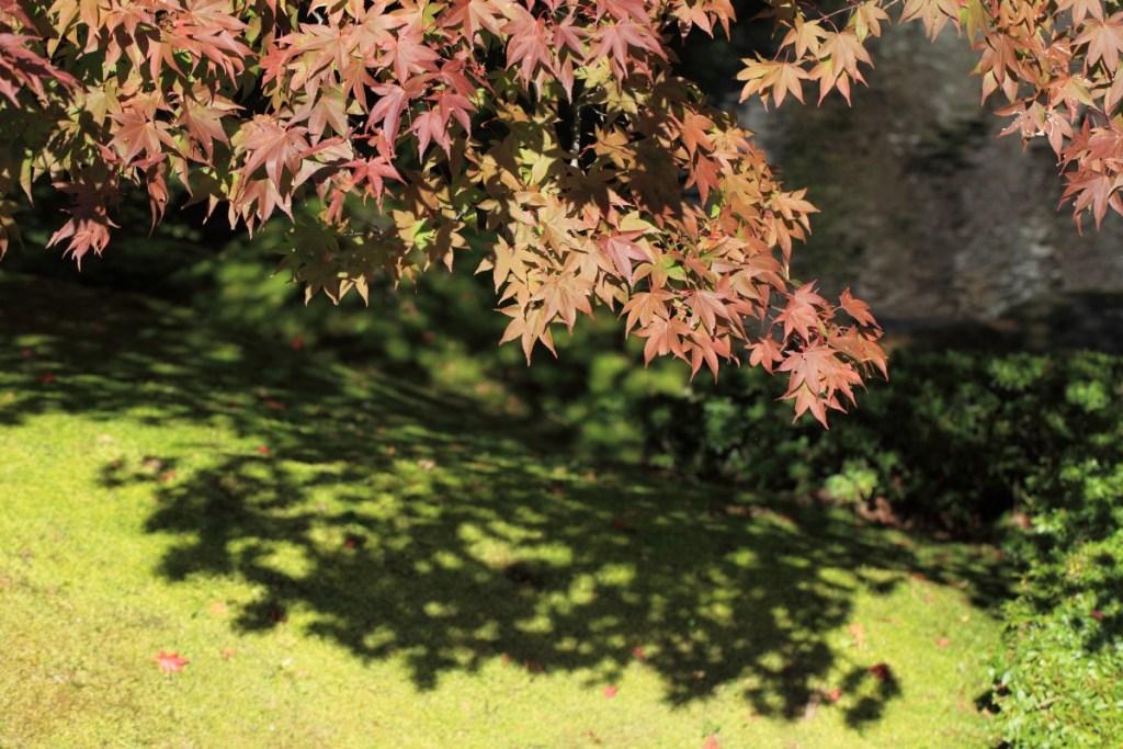 ombre d'un érable du japon aux petites feuilles