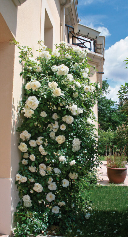 beau rosier grimpant blanc