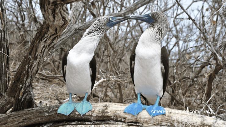Galapagos Ecuador patas azules una hembra y un macho