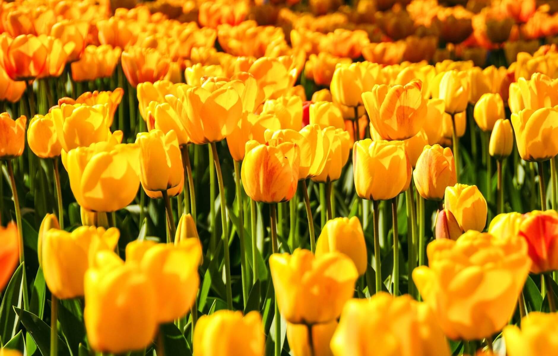 yellow tulip field landscape photography