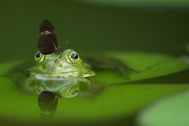 frog-butterfly-pond-mirroring-45863