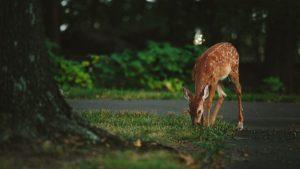 hitting a deer