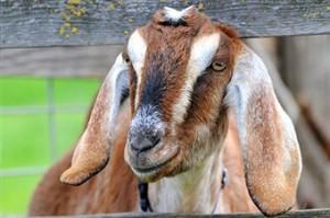 nubian-goats