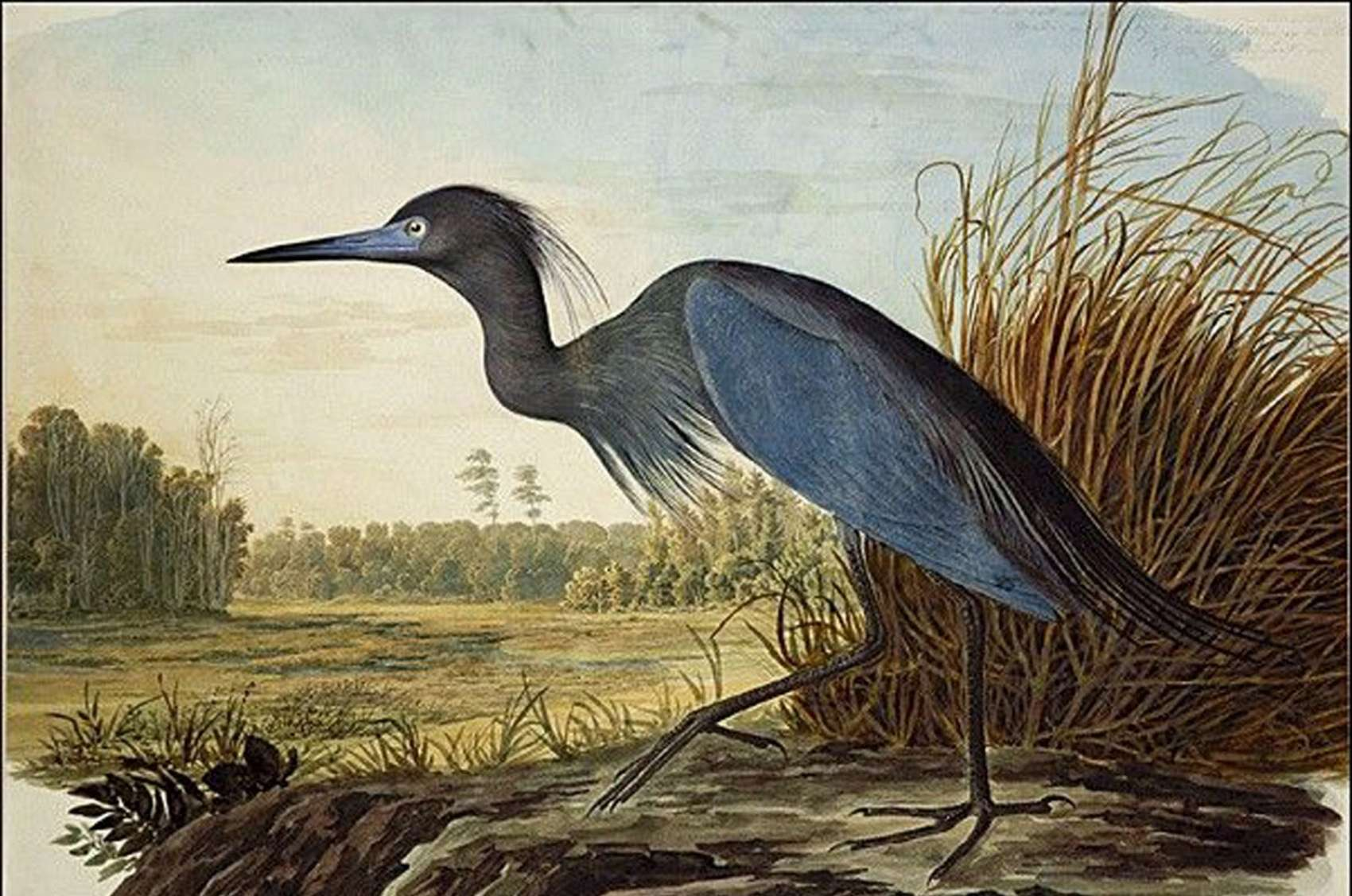 Image result for john james audubon paintings