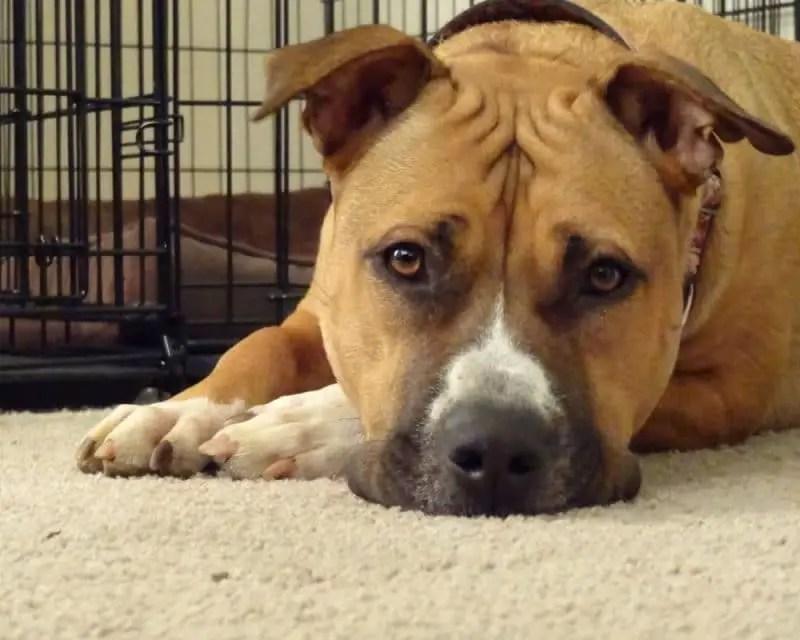Cute Big Pitbull Mastiff Dog e1500273866656 Pitbull Dog Facts