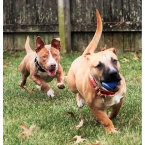 Nifty Week Pitbull Puppies Week Pitbull Puppies Album On