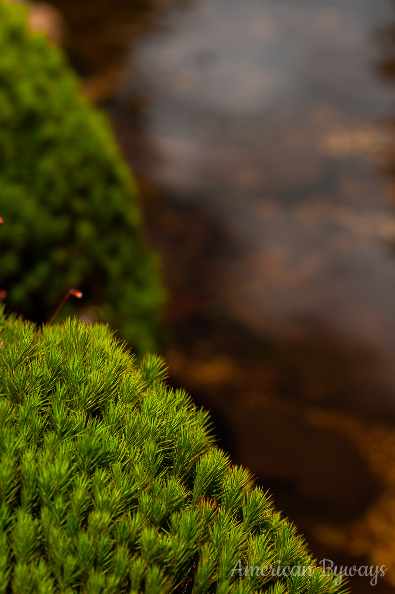 Common hairmoss (Polytrichum commune)