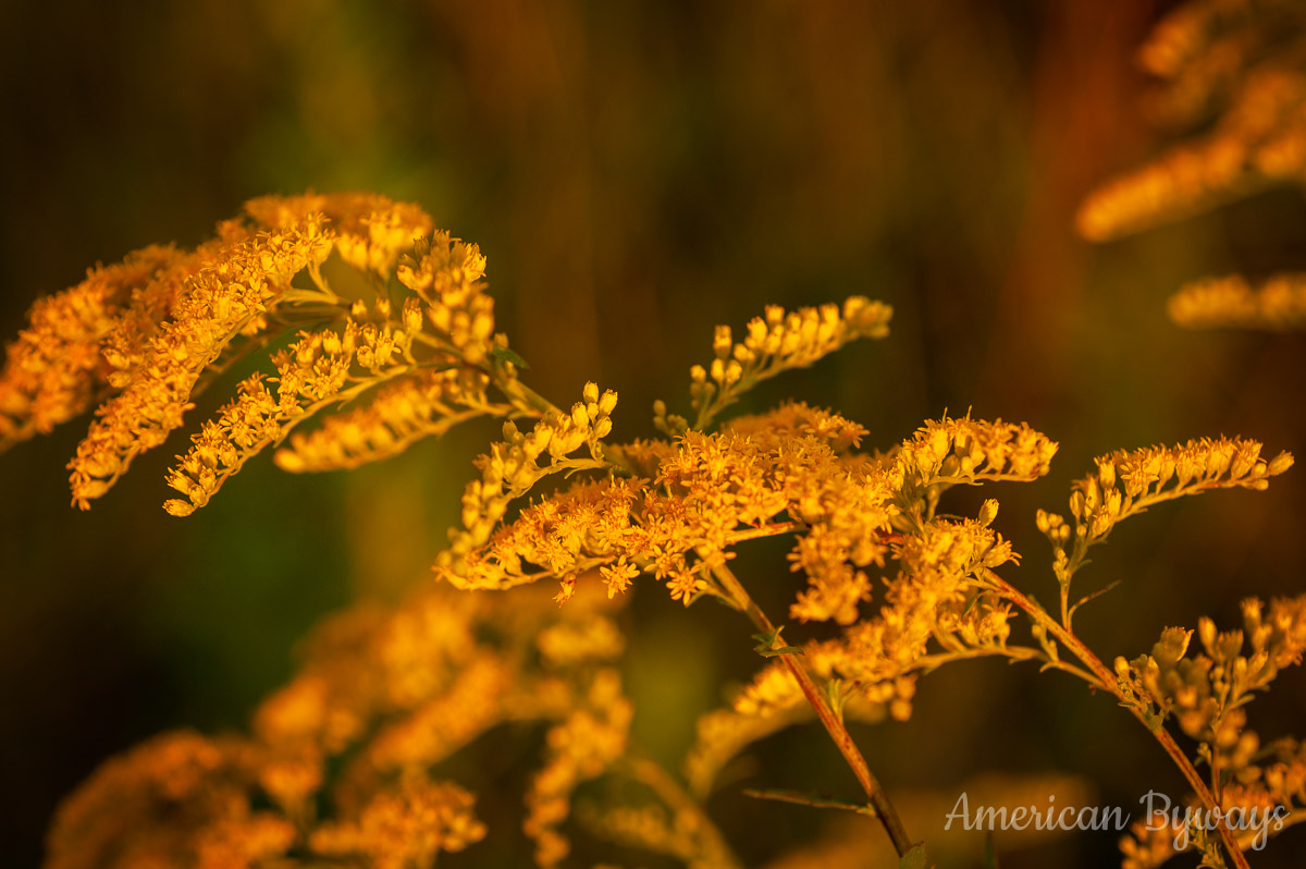 Early goldenrod (Solidago juncea)