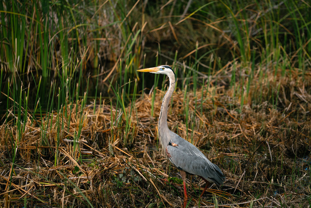 A wading bird in Everglades National Park