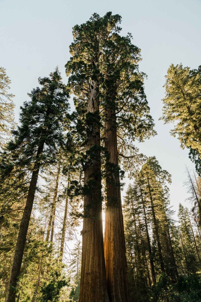 sequoia trees in kings canyon national park