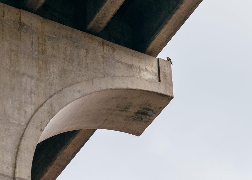 Peregrine falcon nesting under the bridge.