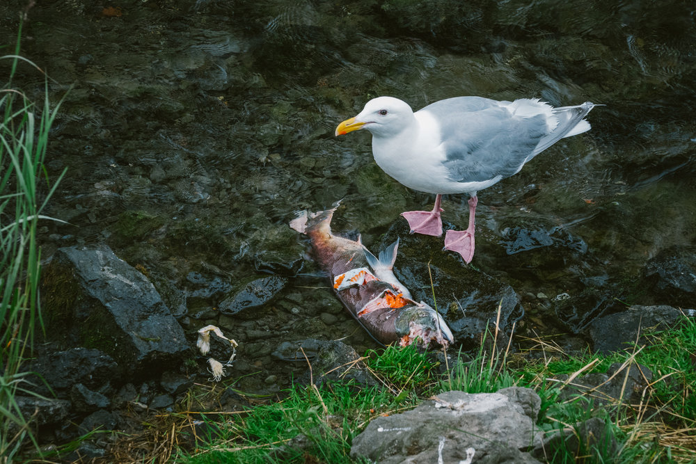 This year was the biggest salmon run since 1980. The bears generally eat the skin, brain, and roe of each fish (the fattiest or most nutritive parts) and leave the rest for the gulls.