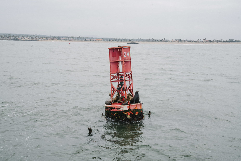 Sea lions on the harbor buoy in Ventura
