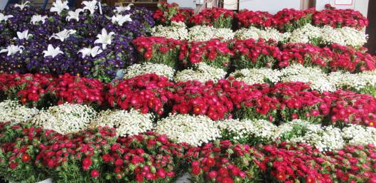 Blooming Patriotic!