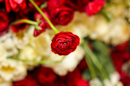 Ranunculus in the perfect shade of red.
