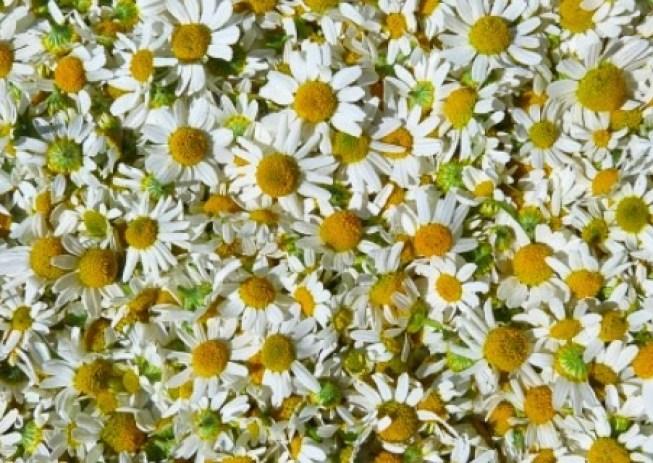 De acuerdo con un estudio publicado en Alternative Therapies in Health and Medicine, la manzanilla es una hierba para la depresión, ya que tiene propiedades antidepresivas y ansiolíticas.