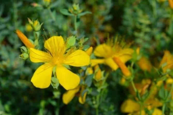 La hierba de San Juan funciona para tratar la depresión leve a moderada, según estudio