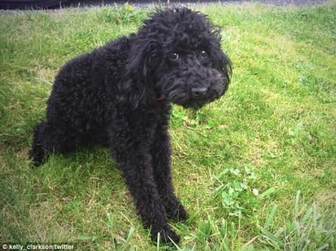Kelly Clarkson's beloved dog Joplin - Source: Twitter