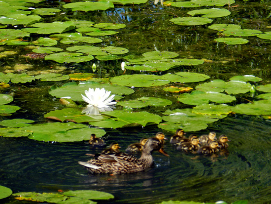 Lily blossom and ducklings on Chicago's Caldwell Pond (Credit: Susan Barsy)