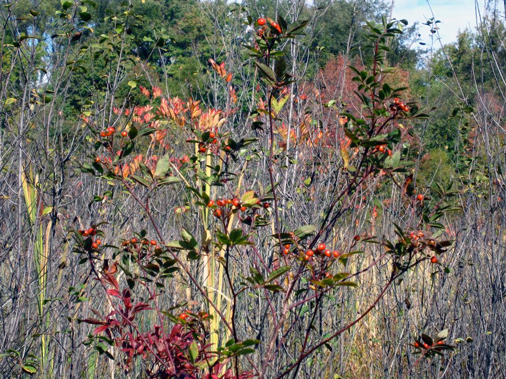Bog bush with berries (Credit: Susan Barsy)