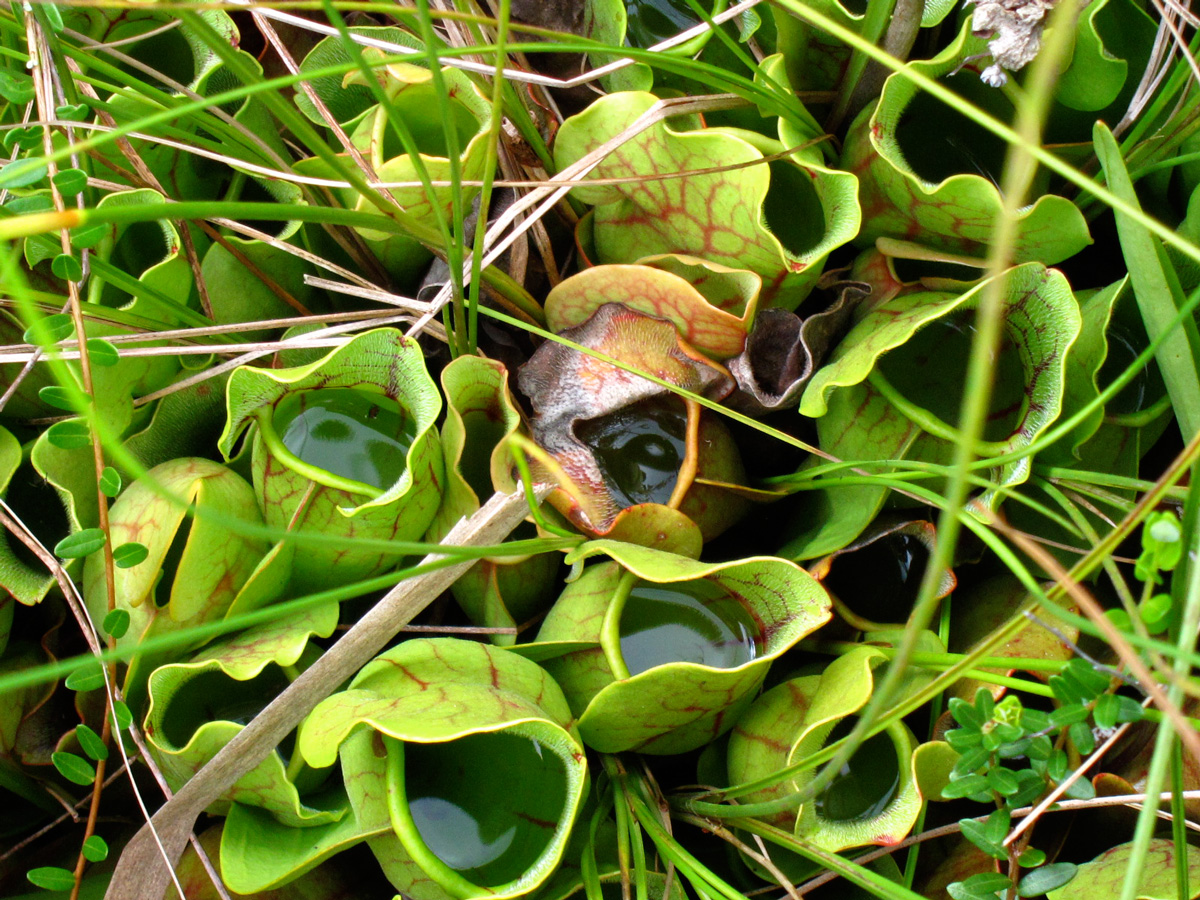Throats of the pitcher plant (Credit: Susan Barsy)