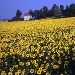 Sunflowers, Haute-Garonne, France – Roger Camp