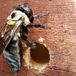 carpenter-bee-hole