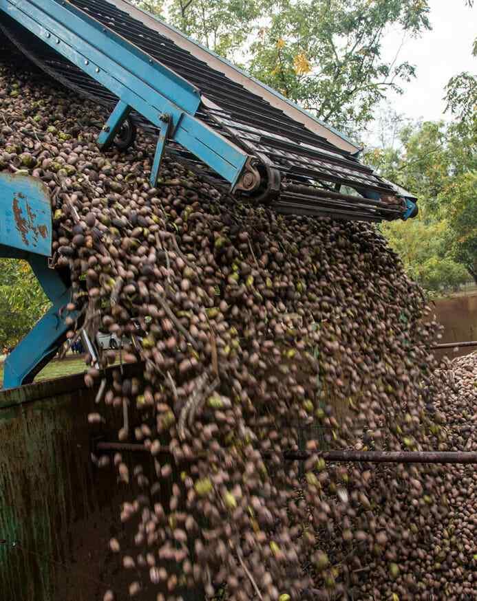 Pecan harvest with truck