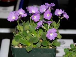 P. allionii hybrid