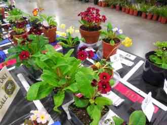 Polyanthus plants