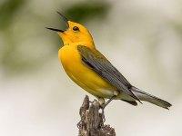 A full-throated tweet (Larry Keller-birdshare)