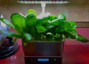 Romaine lettuce growing in an Aerogarden unit.