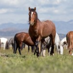 About American Wild Horse Campaign