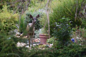 Greenhorn deer
