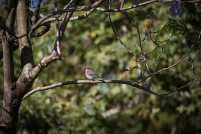 WBluebird1sf