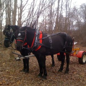 Photo of draft horses hitched to a single rail