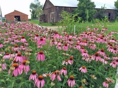 Photo of pink Echinacea flowers