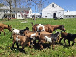 Photo of a herd of kid goats along with Nanny & Billy
