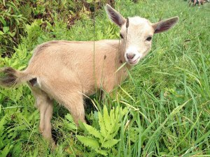 Photo of a young kid goat