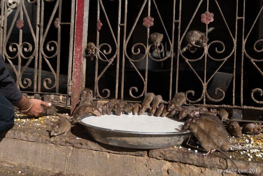 От Нью-Йорка пахнет крысами. Вы сначала вы подумаете, что это белки …