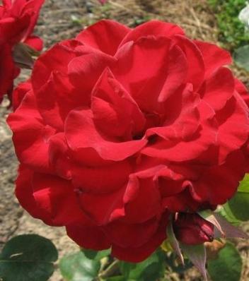Rosa 'Amigo Roger Sucret'