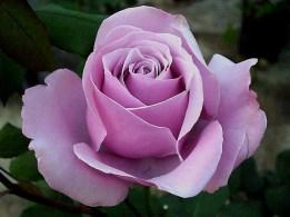 Rosa 'Lila Vidri'